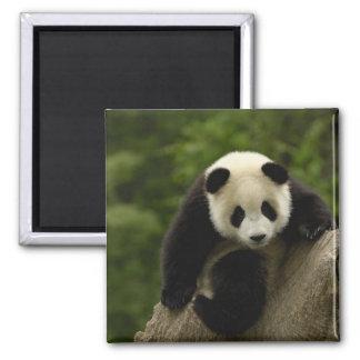 Giant panda baby Ailuropoda melanoleuca) 9 Square Magnet