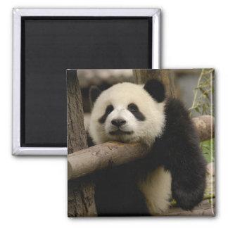 Giant panda baby Ailuropoda melanoleuca) Fridge Magnets