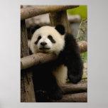 Giant panda baby Ailuropoda melanoleuca) Poster