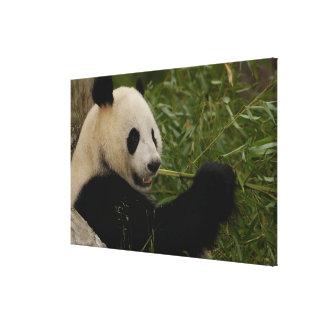 Giant panda baby eating bamboo (Ailuropoda Canvas Print