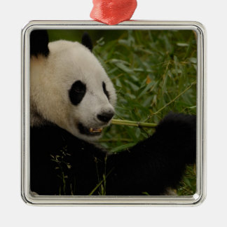 Giant panda baby eating bamboo (Ailuropoda Silver-Colored Square Decoration