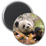 Giant Panda Bear & Baby Panda Magnet