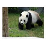 Giant Panda Bear Postcard