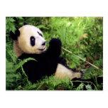 Giant Panda Bear Postcards