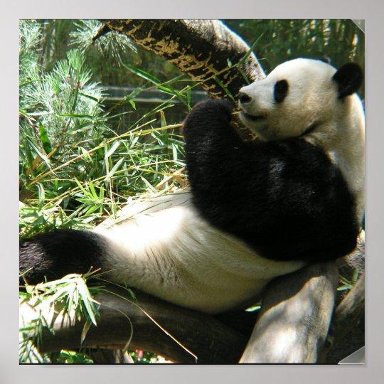 Giant Panda Bear Poster