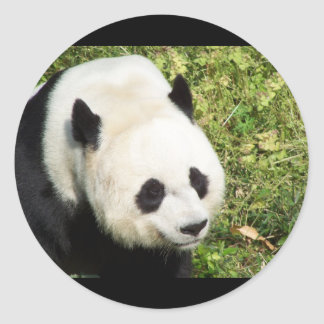 Giant Panda Close Up Portrait Classic Round Sticker