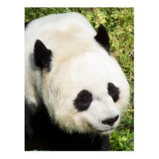 Giant Panda Close Up Portrait Post Card