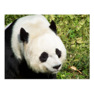 Giant Panda Close Up Portrait Postcard