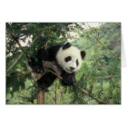 Giant Panda cub climbs a tree, Wolong Valley, Card