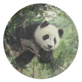 Giant Panda cub climbs a tree, Wolong Valley, Dinner Plate