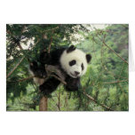 Giant Panda cub climbs a tree, Wolong Valley, Greeting Card