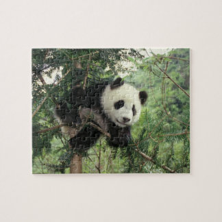 Giant Panda cub climbs a tree, Wolong Valley, Jigsaw Puzzle