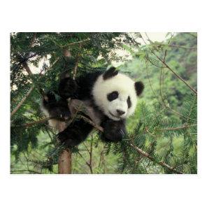 Giant Panda cub climbs a tree, Wolong Valley, Postcard