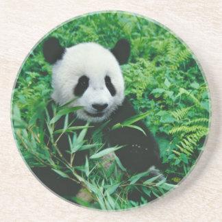 Giant Panda cub eats bamboo in the bush, Coaster