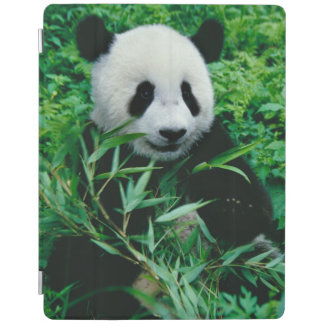 Giant Panda cub eats bamboo in the bush, iPad Cover