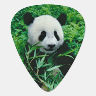 Giant Panda cub eats bamboo in the bush, Plectrum
