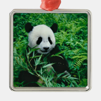Giant Panda cub eats bamboo in the bush, Silver-Colored Square Decoration