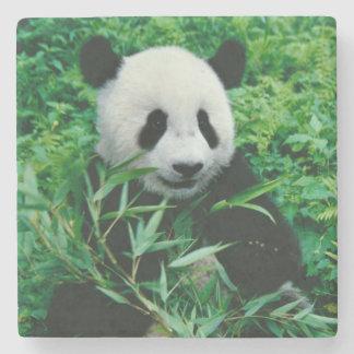 Giant Panda cub eats bamboo in the bush, Stone Coaster
