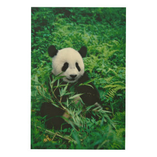 Giant Panda cub eats bamboo in the bush, Wood Canvases