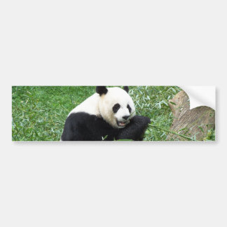 Giant Panda Eating Bamboo Bumper Sticker