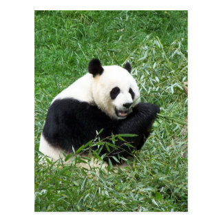 Giant Panda Eating Bamboo Postcard