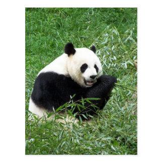 Giant Panda Eating Bamboo Postcards