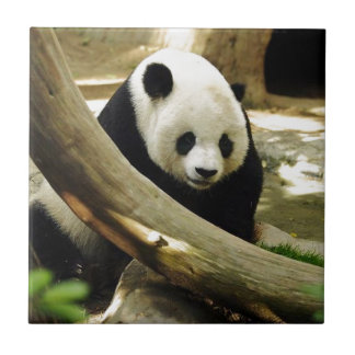 Giant Panda Gao Gao at the San Diego Zoo Small Square Tile