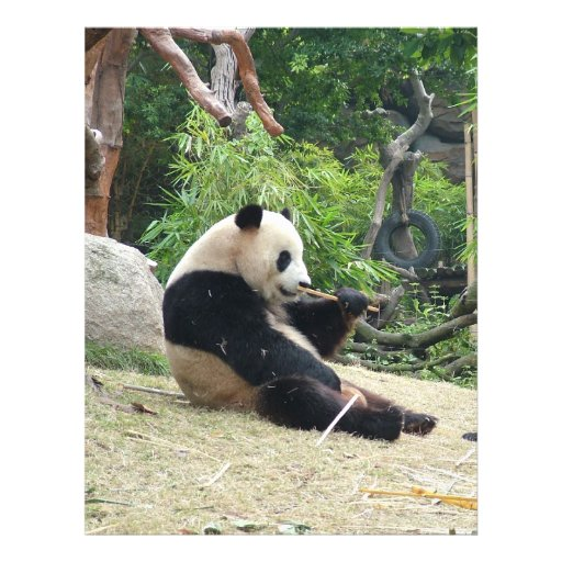 Giant panda in a wild animal zoo photography. flyers