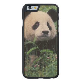 Giant panda in the grass, Wolong Valley, Sichuan Carved® Maple iPhone 6 Slim Case