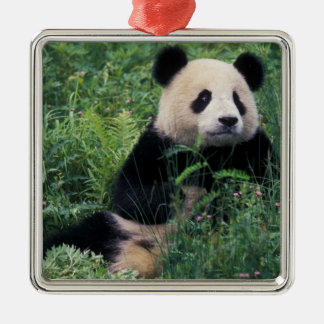 Giant panda in the grass, Wolong Valley, Sichuan Silver-Colored Square Decoration