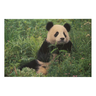 Giant panda in the grass, Wolong Valley, Sichuan Wood Wall Decor