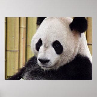 Giant Panda Portrait Posters