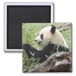 Giant Panda Refrigerator Magnet