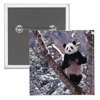 Giant Panda standing on tree, Wolong, Sichuan, 15 Cm Square Badge