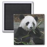 Giant pandas at the Giant Panda Protection &