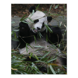 Giant pandas at the Giant Panda Protection & 2 Poster