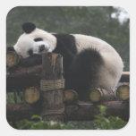 Giant pandas at the Giant Panda Protection & 3