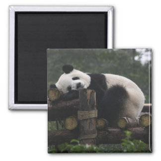 Giant pandas at the Giant Panda Protection & 3 Magnet