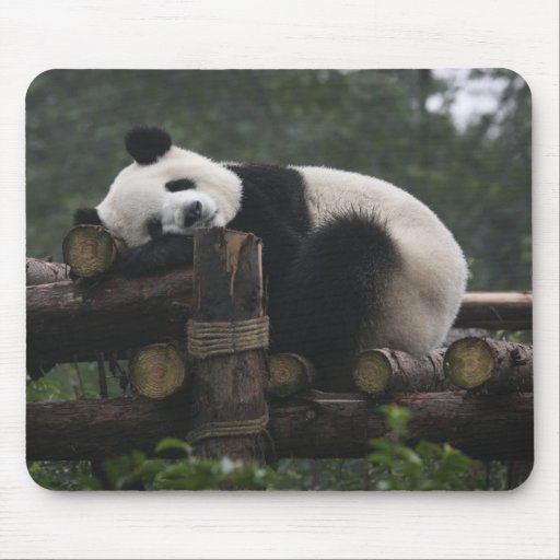Giant pandas at the Giant Panda Protection & 3 Mouse Pads