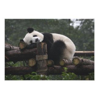 Giant pandas at the Giant Panda Protection & 3 Photo Print