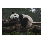 Giant pandas at the Giant Panda Protection & 3 Poster