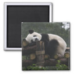 Giant pandas at the Giant Panda Protection & 3 Square Magnet