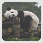 Giant pandas at the Giant Panda Protection & 3 Square Sticker