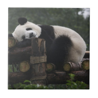 Giant pandas at the Giant Panda Protection & 3 Tile