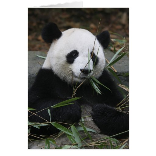 Giant pandas at the Giant Panda Protection & Cards