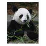 Giant pandas at the Giant Panda Protection & Postcards