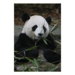 Giant pandas at the Giant Panda Protection & Poster