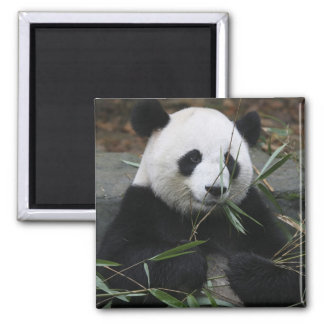 Giant pandas at the Giant Panda Protection & Square Magnet