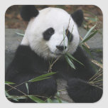 Giant pandas at the Giant Panda Protection & Square Sticker