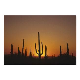 Giant saguaro cactus Cereus giganteus), Photo Print